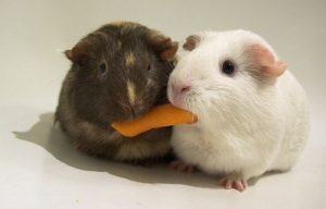 sharing-guinea-pigs