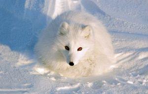 arctic-fox-winter-ngk1108-ca01_14251_600x450
