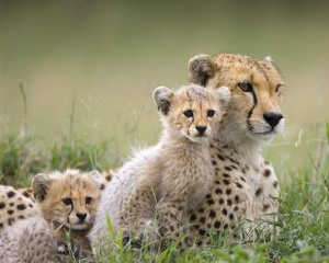 Cheetah-Family-wild-animals-2603080-1280-1024