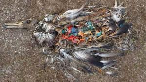 dead-bird-plastic-belly-fea